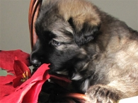 poinsettaPup