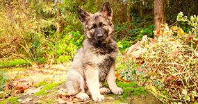 Shiloh Puppy News
