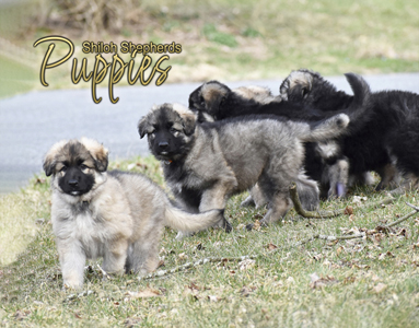dog breed designs