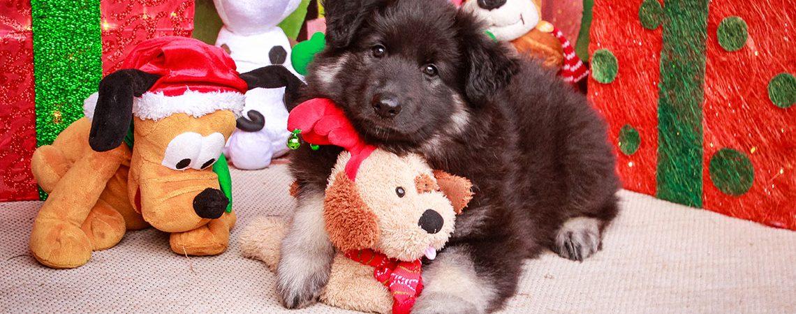 Shiloh Puppy News